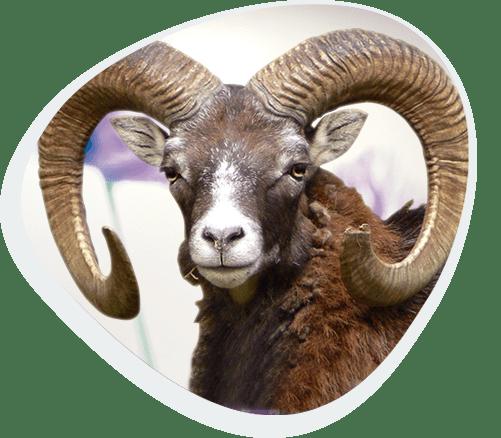 Patenschaft mit Mufflon